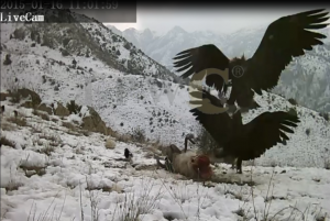 Golden Eagle vs Black Vulture