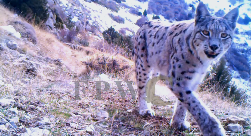 http://www.fpwc.org/wp-content/uploads/2015/04/Lynx_shot_02.png