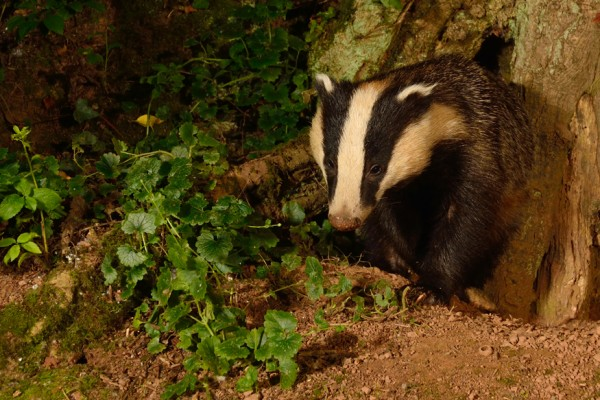 Badger by the ancient oak